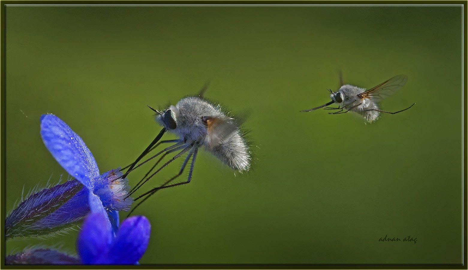 Arı sineği - Bombylius major (Ankara 2013)