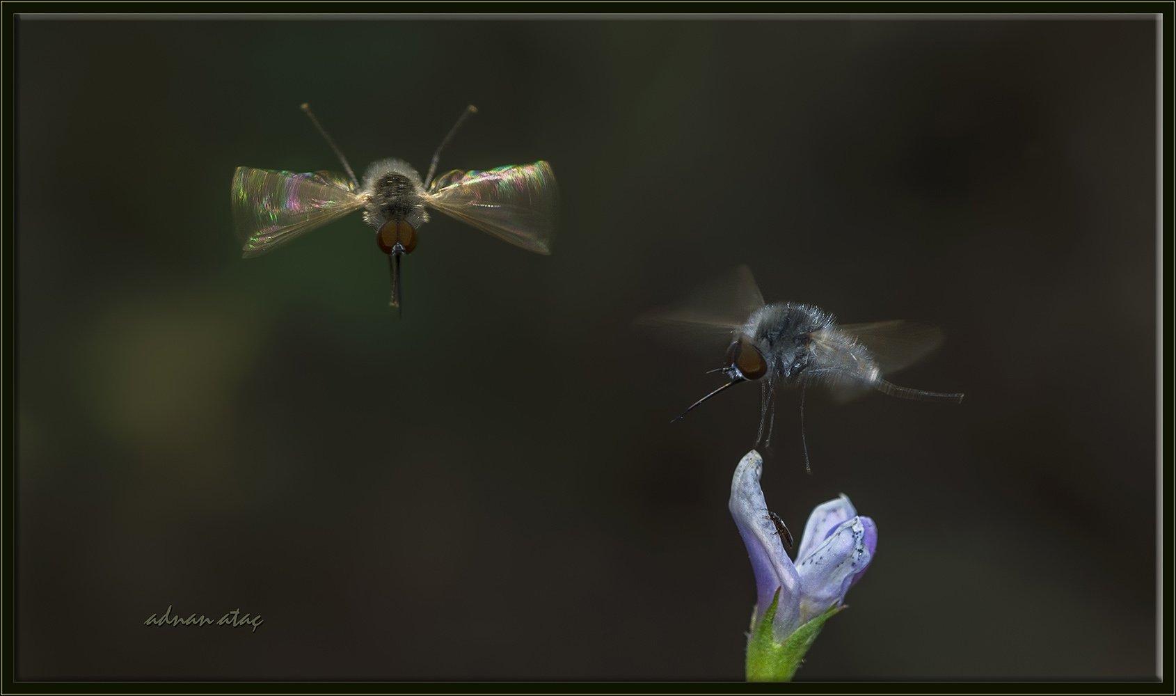 Arı sineği - Bombylius major (Ankara 2014) 2