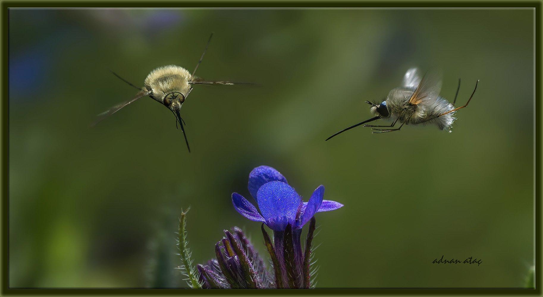 Arı sineği - Bombylius major (Ankara 2014)
