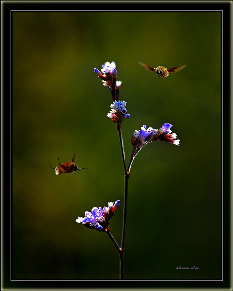 Arı sineği - Bombylius major (Antalya 2009)