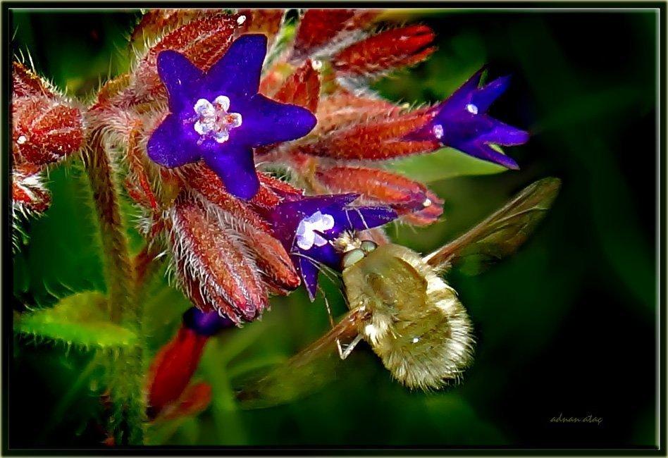 Arı sineği - Bombylius major ve sığır dili çiçeği (Ankara 2011)